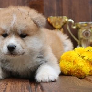 Милые щенки маленькие (Японской акита-ину Хатико)