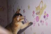 Абиссинский котик ищет любящих хозяев