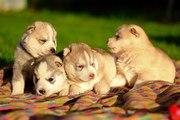 настоящие хаски щенки,  недорого