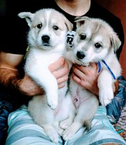 щенки сибирской хаски