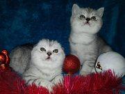 Шотландские котята-девчата
